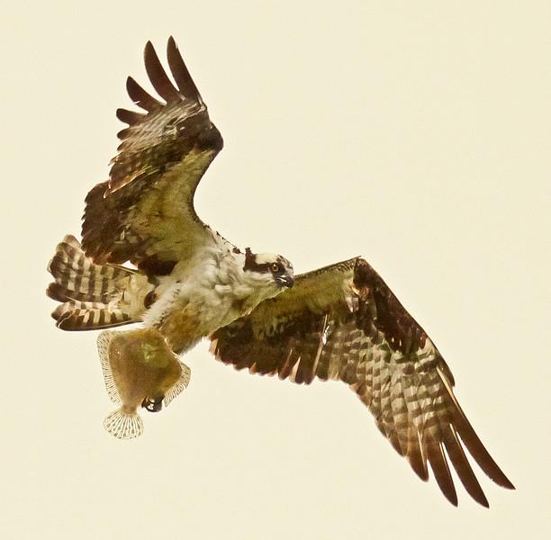 Osprey In Flight With Flounder Pandion haliaetus, Osprey, Fish Hawk