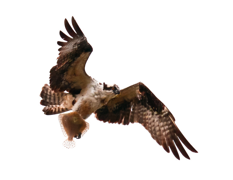 Osprey, also called Fish Hawks, Pandion haliaethus is a migratory bird of prey in Maine. This large raptor hunts only live fish. It hovers in the air over water to see fish then plunges feet first to capture fish. Pandion haliaetus, Osprey, Fish Hawk