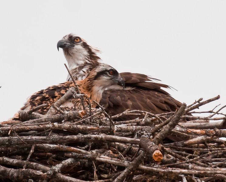 Osprey chick with mother on nest, June, Phippsburg Maine Pandion haliaetus, Osprey, Fish Hawk