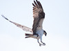 Osprey Pandion haliaetus, Osprey, Fish Hawk