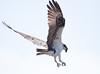 Osprey Pandion haliaetus, Osprey, Fish Hawk