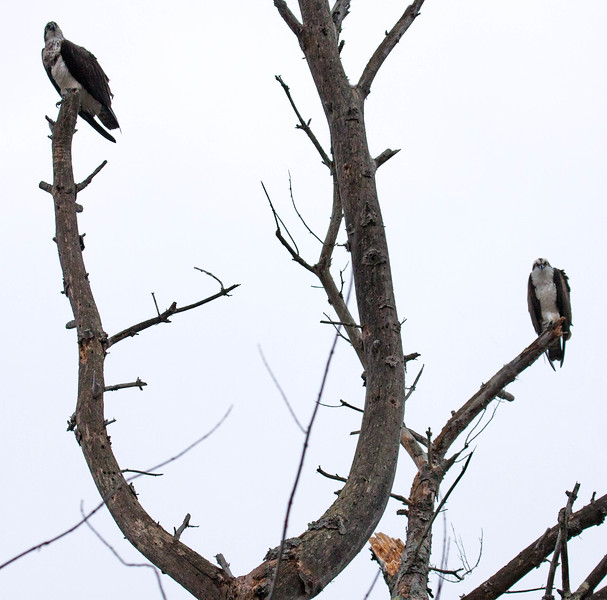 This is a mated Osprey pair. The male is on the lower branch, the female on the upper. This illustrates (hopefully) that the female is slightly larger than the male and also the difference in plumage. The female has a marked breast, where the male has a plain white breast. The  female looks as if she is wearing a dirty apron. That is how I remember which is which..   Pandion haliaetus, Osprey, also called a Fish Hawk, is a migratory raptor in Maine