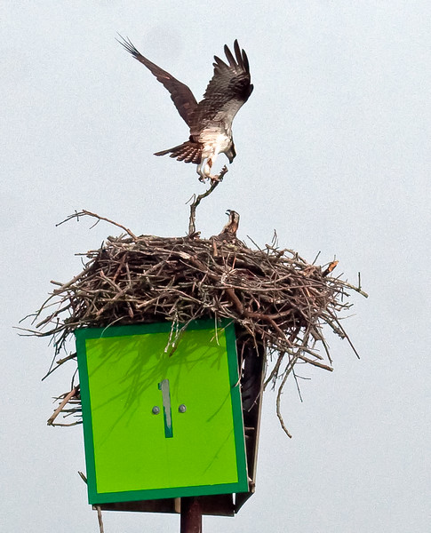 Osprey carrying new stick to nest with young Osprey chick in nest looking on, nest atop naviational marker, Robinhood, Maine Pandion haliaetus, Osprey, Fish Hawk