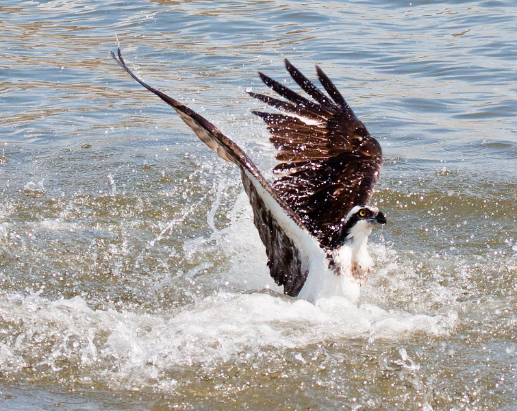Osprey lifting out of water after dive Pandion haliaetus, Osprey, Fish Hawk