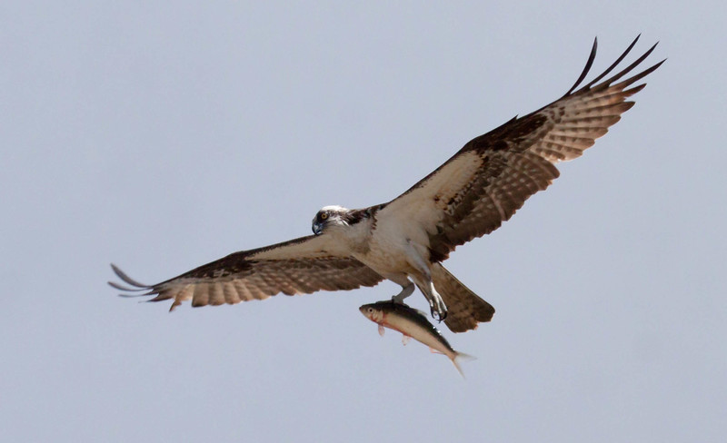 Pandion haliaetus, Osprey, Fish Hawk with river herring, Alewife, in flight left facing, Phippsburg, Maine