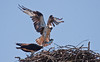 Osprey male flying into nest with Alewife, a type of river herring, Phippsburg, Maine. Osprey, also called Fish Hawks, Pandion haliaethus is a migratory bird of prey in Maine. This large raptor hunts only live fish. It hovers in the air over water to see fish then plunges feet first to capture fish. Pandion haliaetus, Osprey, Fish Hawk