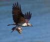 Osprey in flight with flounder fish, Phippsburg Maine, May 2009 Pandion haliaetus, Osprey, Fish Hawk