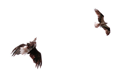 Bald eagle chasing Osprey with fish. The eagle had done a summersault and was screaming at the Osprey. Pandion haliaetus, Osprey, Fish Hawk