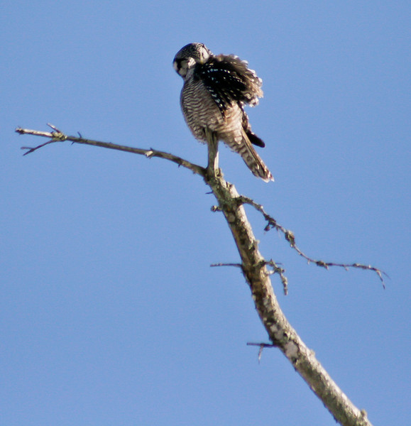 Northern Hawk Owl, wing stretch, Bristol, Maine