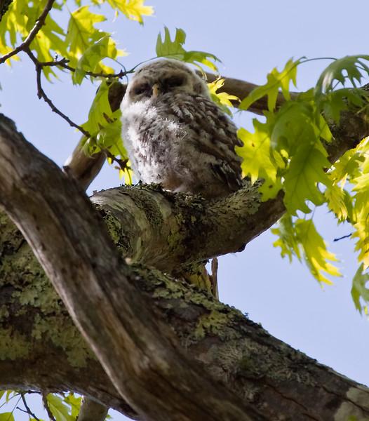 Barred owl, baby owl, owlet