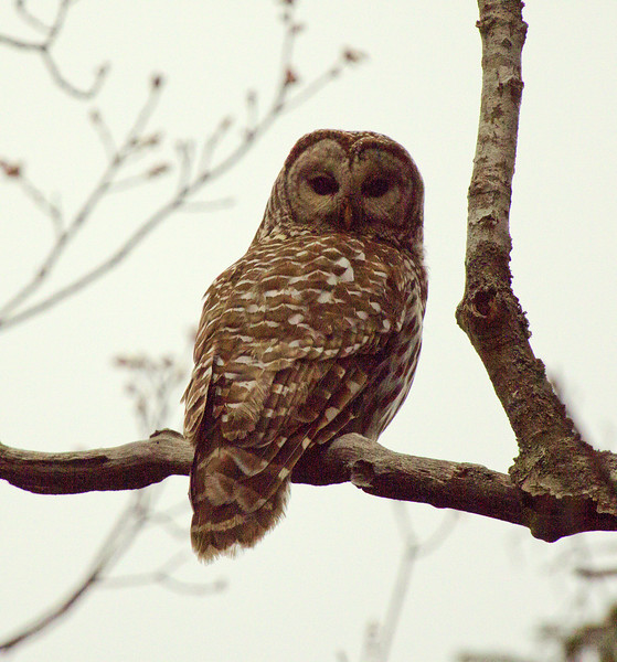 Barred Owl, Maine, birding, birds, Phippsburg, perched, staring, rear view,