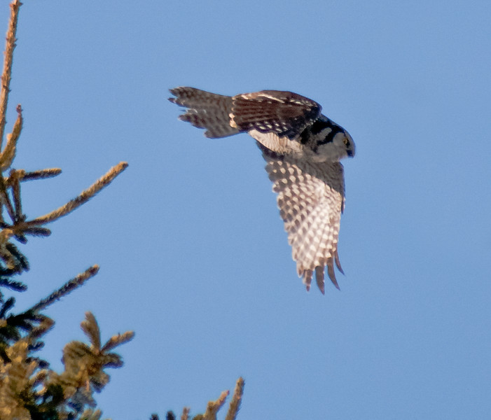 Northern Hawk Owl flight, Bristol, Maine, Northern Hawk owl flying