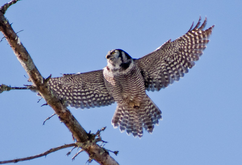 Northern Hawk Owl flight, Bristol Maine, left facing, flying