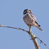 Northern Hawk Owl, Bristol Maine, boreal irruptive