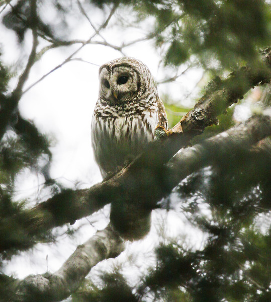 Barred Owl, Phippsburg, Maine, spring, perched, looking left, frontal view