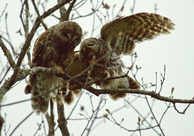 Barred Owl - pair Male & Female, Phippsburg, Maine, May, 2009, courting/mating behaviors