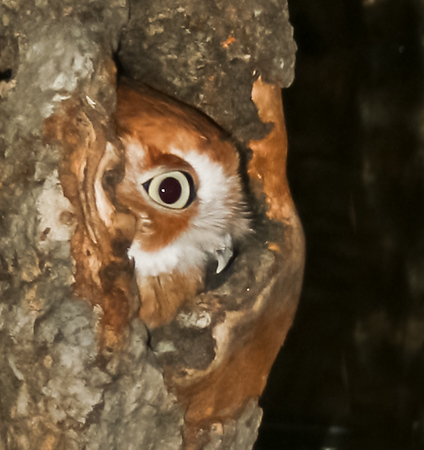 Screech owl, Maine, red morph