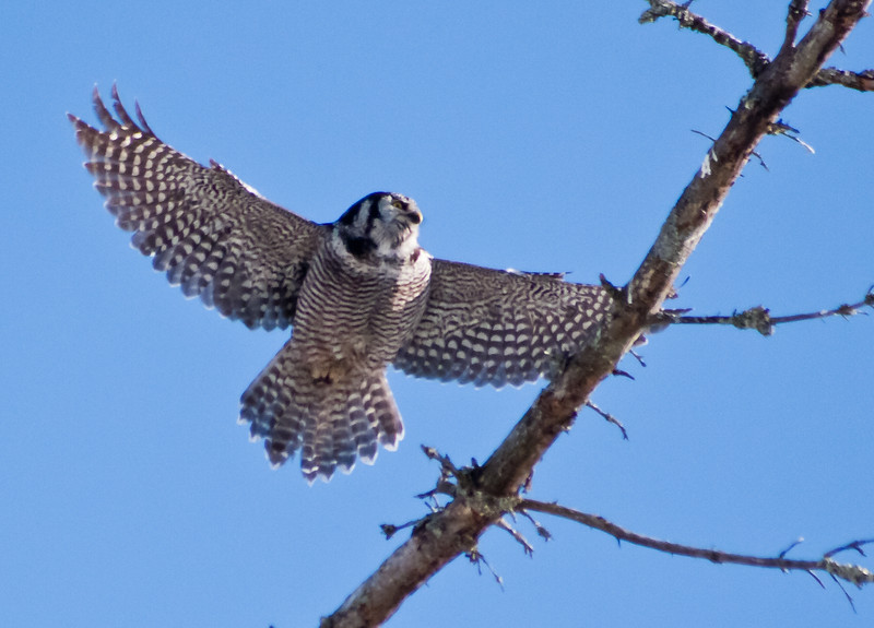 Northern Hawk Owl in flight, Bristol, Maine, Northern Hawk Owl flying, Bristol, Maine