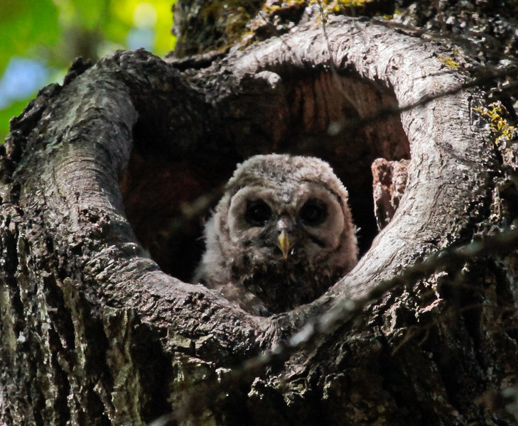 Barred Owlet In Nest Cavity, Phippsburg, Maine, May, 2010, baby Barred owl peering from nest hole in oak tree. Where once a big branch broke from the tree, the cambium curled back to look like a heart.