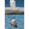 Comparison photos of two Snowy owls seen at the same time, Biddeford Pool, Maine January 13, 2014. The bird in the top photo is an older, whiter bird. The bird on th bottom is a youngster, probably a first year bird. Notice the difference in the dark barring on the bottom bird compared to the whiter, less heavily barred adult on the top.