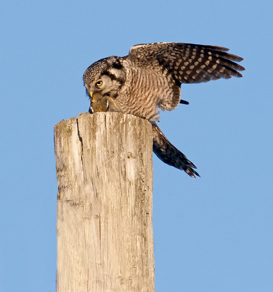 Northern Hawk Owls with prey, White Winged Crossbill on utility post