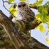 owlet, baby Barred Owl, Phippsburg, Maine