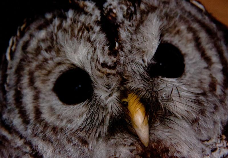 Barred Owl, Close Up Of Face Barred Owl, Maine, birding, birds, Phippsburg, facial