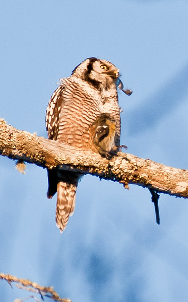 Boreal Irruptives, Northern Hawk Owl eating White-winged Crossbill
