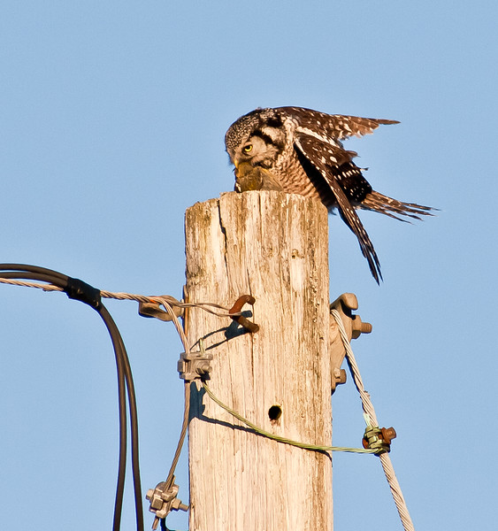 "Northern Hawk Owl Eating White-Winged Crossbill, Bristol, Maine ""When Irruptives Collide"""