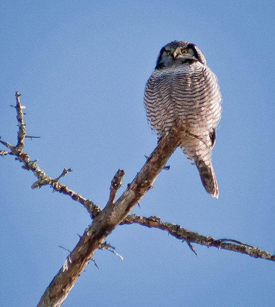 Northern Hawk Owl, Bristol, Maine