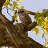 Barred owl baby, owlet