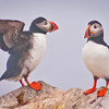 Atlantic Puffin Maine, Clown Bird