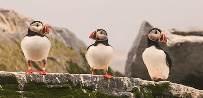 Atlantic Puffin or Common Puffin, Fratercula arctica is a seabird in the auk family.