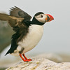 Atlantic Puffin Maine, Clown Bird, wings out