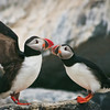 Atlantic Puffin Maine, Clown Bird, left wing spread, beak to beak,