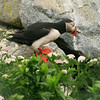 Atlantic Puffin In Yarrow Maine, Clown Bird