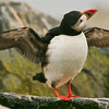 Atlantic Puffin Maine, Clown Bird shaking off water in the rain, wings spread, right facing