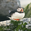 Atlantic Puffins Atlantic Puffin Maine, Clown Bird