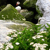 "Atlantic Puffin Maine, Clown Bird, peeking from nest cavity, wild, white yarrow, ""Achillea"""