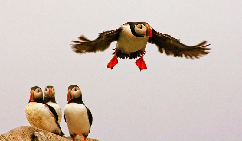 Atlntic Puffins Atlantic Puffin Maine, Clown Bird, Flight, trio watching