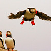 Atlntic Puffins Atlantic Puffin Maine, Clown Bird, Flight, trio watching