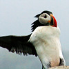Atlantic Puffin Maine, Clown Bird, Skidding to a stop, hilarious! flight, landing
