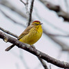 Palm Warbler, spring, Phippsburg Maine