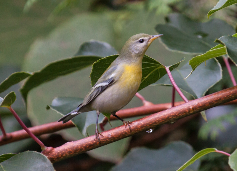 Northern Parula female, Maine June, a migratory songibrd in Maine