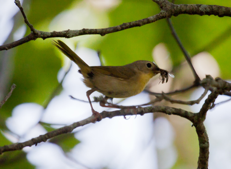 American Redstart female with insects, Phippsburg Maine, June