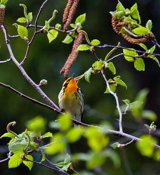 Blackburnian warbler in Birch tree with catkins, spring, Phippsburg, Maine