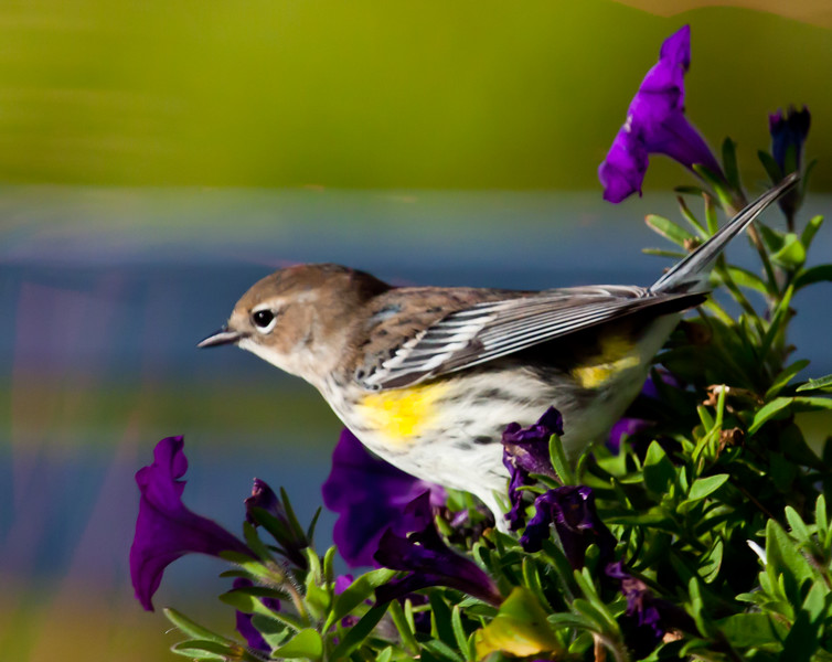 Yellow-rumped Warbler With Petunias