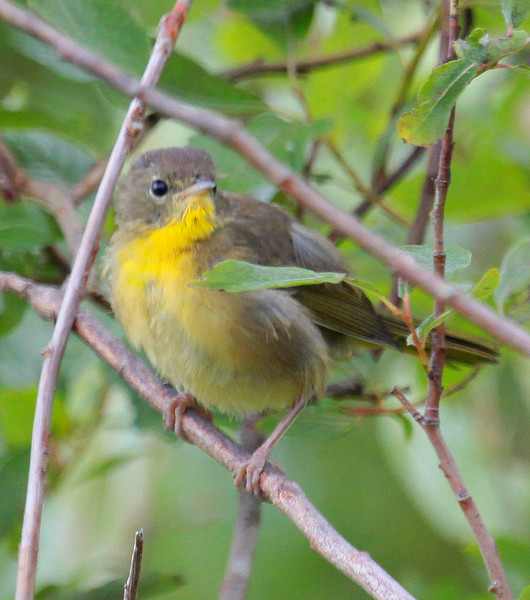 Common Yellow Throat warbler, female, Phippsburg, Maine