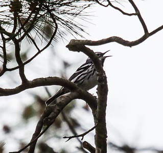 Black And White warblers are migratory in Maine. Black and White Warbler singing in White Pine tree, Phippsburg, Maine. Mniotilta varia, Black And White warbler, is a migratory song bird in Maine, Phippsburg