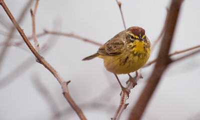 . Palm Warblers are migratory in Maine..  Dendroica palmarum, Palm warblers are migratory Wood-warblers in Maine